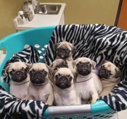 Promoção de dia das mães Maravilhosos filhotes de Pug