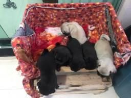 Filhotes de Pug fêmea