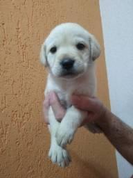 Extrovertido Filhote de Labrador, com Pedigree!!!