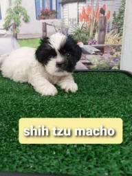 shih tzu, macho, seu melhor amigo