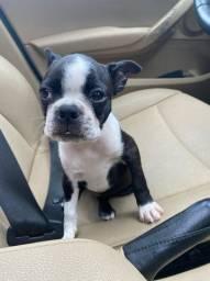 1 Fêmea De Boston Terrier Disponível