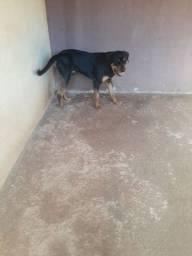 Cachorro Rottweiler pra cruza