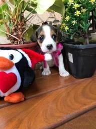 beagle pronta entrega venha garantir seu filhote 45 dias