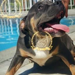 Brazilian Kennel Clube American Bully Blue Nose Disponível - Pitbull