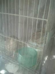 Vendo codornas ou troco por galinhas