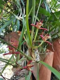 Maxilária - Orquídea com Cheiro de Côco