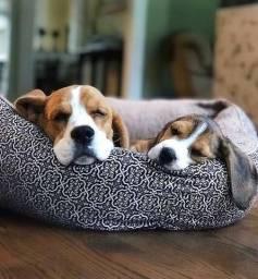 Beagles lindos filhotes disponíveis com 45 dias, com pedigree e microchip