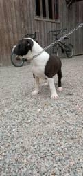 Vendo ou troco filhotes de América staffordshire terrier