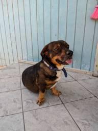 Cachorro para adoção forquilhinha sc