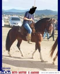 Cavalo crioulo garanhão documentado