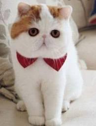Gato Exótico Persa Pedigree Internacional