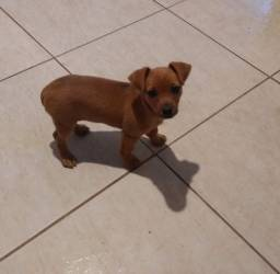 Pincher ( três mês de nascido )
