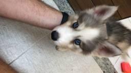 Husky siberiano puro ou troco em raça menor