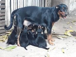 Rottweiler 850 reais.