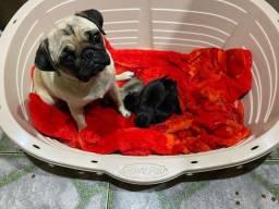 Filhotes de Pug Fêmea e Machos