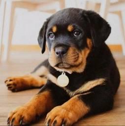 Promoção de dia das mães filhotes de Rottweiler Já disponíveis