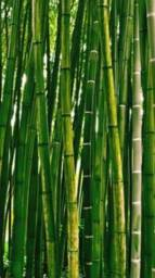 Palito bambu bambuzal vendo