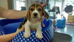 Beagle maravilhosos com pedigree