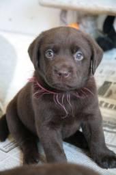 Lindos Filhotes de Labrador Na Cor Chocolate
