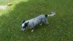 Cachorro boiadeiro australiano