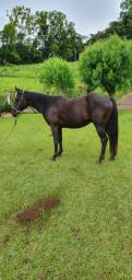 Cavalo 3/4 QM, DOMADO, LAÇANDO