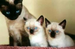 gatinha siamês