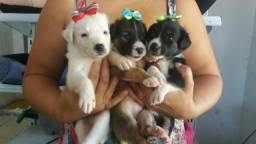 Filhotes de yorkshire com poodle bem pequenos aceito cartão