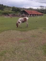 Vendo potra paint horse sem registro