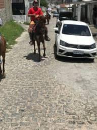 Cavalo de passeio alazão