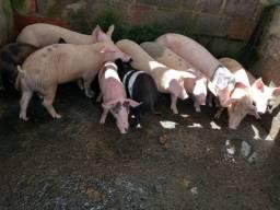 Filhote de porco de qualidade 300 reais