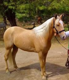 Cavalo baio amarilio quarto de milha