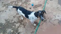 Estou doando um cachorro Labrador misturado com vira-lata