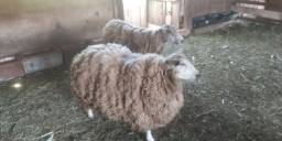 Casal ovelha TEXEL