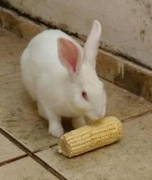 Vendo uma coelha adulta