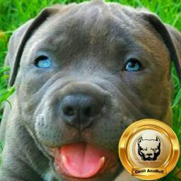 Brazillian Kennel AnaBull Filhotes C.I.N.Z.A Disponíveis American Bully - Pitbull