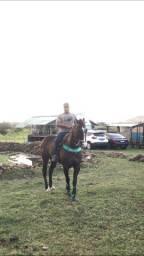 Cavalo de Vaquejada quarto de milha