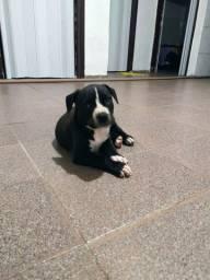 Filhote de Pitbull American terrier