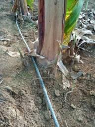 Mudas de banana Maranhão