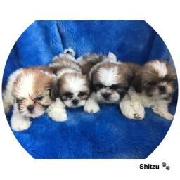 Shitzu com pedigree e micro chip em até 12x