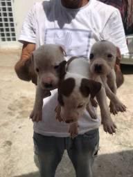 Vendo filhotinhos de Pitbull