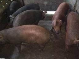 Porcos.