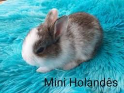 Mini Holandês
