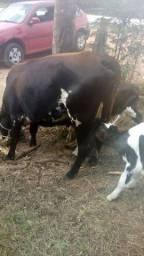 Vendo vaca inchertada