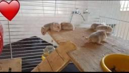 Hamster anão Russo Argente