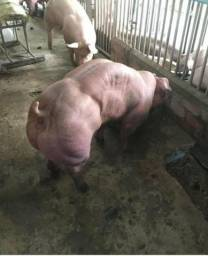 Tou doando uns porcos