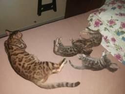 Gato Bengal spoted e Silver