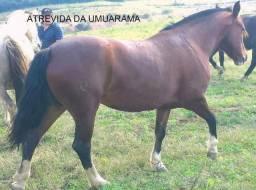 Égua crioula, top no laço