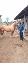 Égua palomina