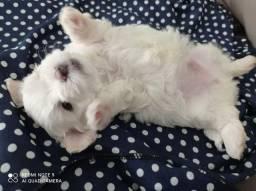 Lindo filhote de maltês MINI. Uma perfeição