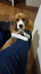 Beagle chocolate